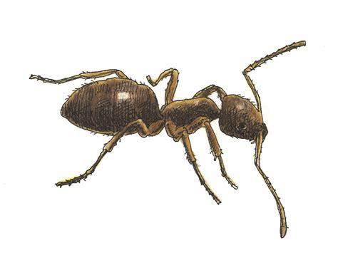 odorous house ants odorous house ants atlanta pest control