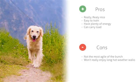 golden retriever hiking best breed of dogs for hiking hiking gear guru