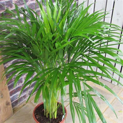 kentia pianta da appartamento la kenzia piante appartamento curare la kenzia