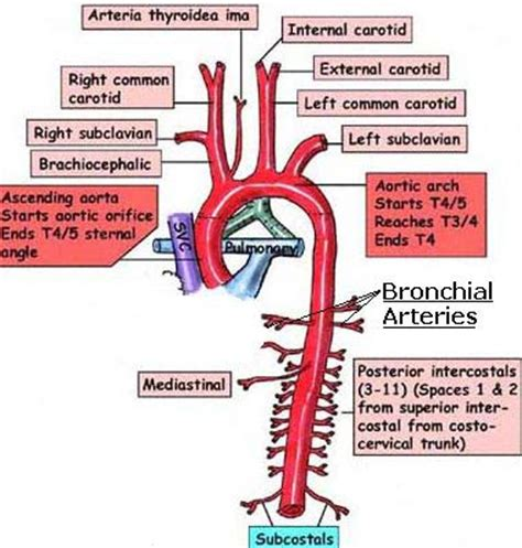science, natural phenomena & medicine: bronchial arteries