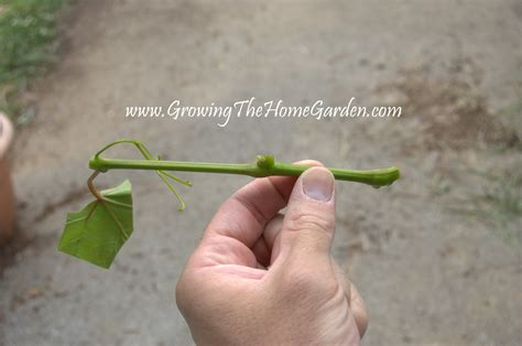 propagating grape vines with greenwood cuttings growing the home garden