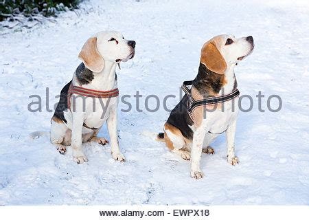 foxhounds stock photos & foxhounds stock images page 3
