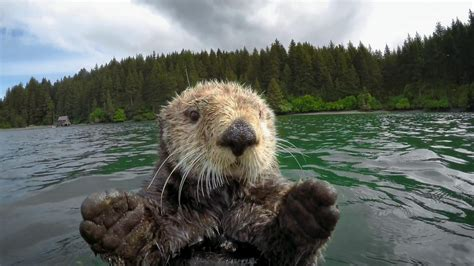 Sea Of Cats 23 pictures that prove otters are just silly sea cats