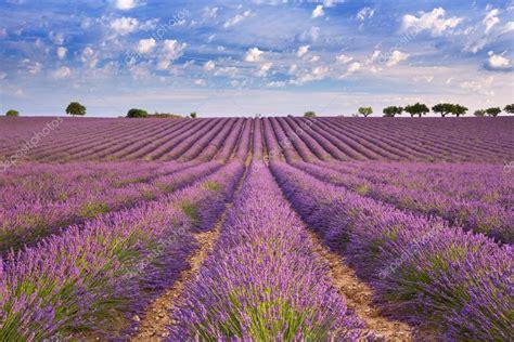 immagini di prati fioriti prati fioriti di lavanda in provenza francia sud