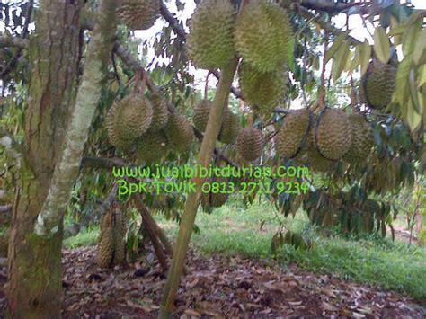 Bibit Durian Bawor Medan bibit durian bawor medan archives bibit durian montong