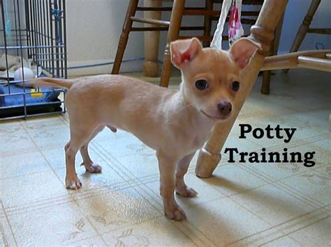 potty puppy fast 17 best images about how is this on chihuahuas chihuahua dogs and