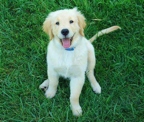 hypoallergenic golden retriever are golden retrievers hypoallergenic canna pet 174