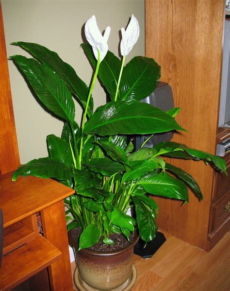 best indoor house plant best air purifying house plants