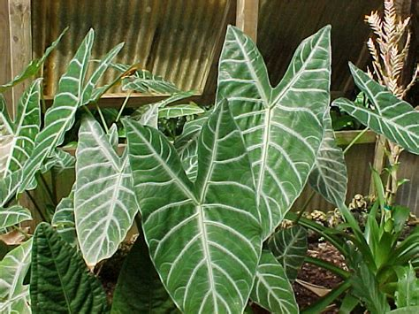 alocasia pictures and photo gallery alocasia