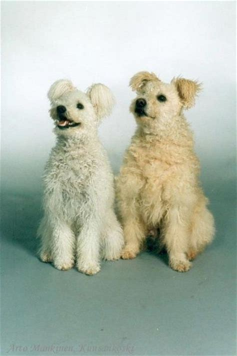 pumi puppies for sale photos photos pumi and hungarian on
