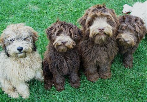 mini labradoodles height size s of a labradoodle cuddly pooches