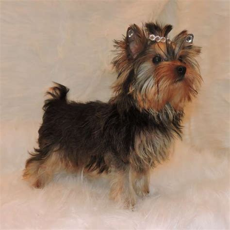 gold yorkie puppies yorkies for sale purchase golden puppy sky