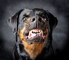 rottweiler attacks top 4 dangerous breeds