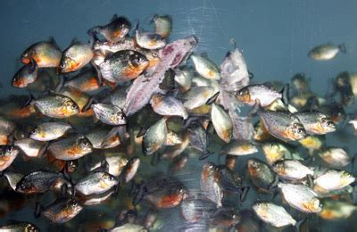 can piranhas really strip a cow to the bone in under a