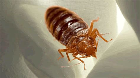 how big can a bed bug get how big is a bed bug rachael edwards