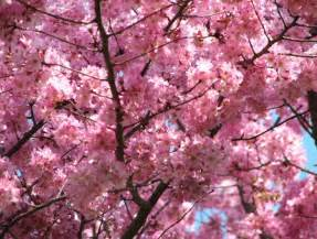 blooming pink cherry blossom pink color photo