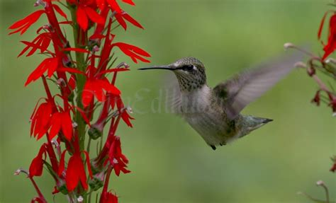 ruby throated hummingbird on the cardinal flower in