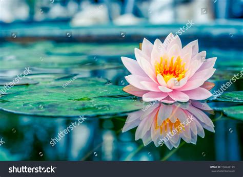 lotus with water beautiful pink lotus water plant reflection stock photo