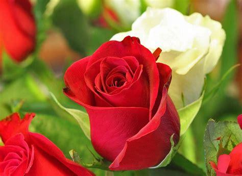 image gallery las rosas mas lindas fotos de las flores mas hermosas del mundo imagenes de las