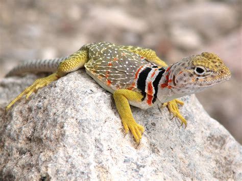 colorful lizard unseen most colorfull lizards