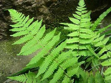 シダの葉っぱの付き方が2種類あるわ。: 大阪 アホげな小発見。とか