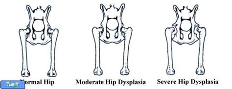 pug hip dysplasia پرشین پت gt gt دیسپلازی هیپ در سگ ها hip dysplasia