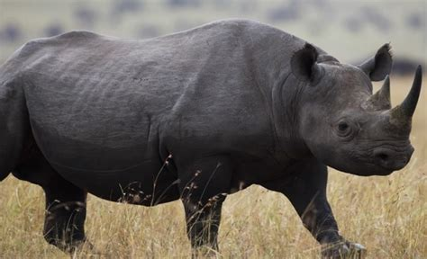 imagenes rinoceronte blanco rinoceronte negro www pixshark com images galleries