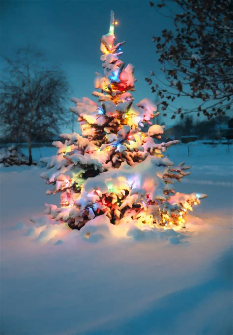 snow covered christmas tree  colorful lights  posted flickr