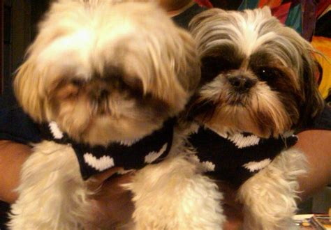 shih tzu yorkie mix hypoallergenic 1000 ideas about yorkie shih tzu mix on shorkie puppies for sale shih