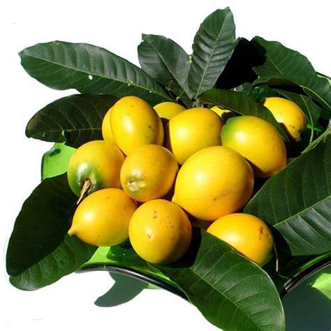 fruit x familia nome popular abieiro nome cient 237 fico lucuma caimito