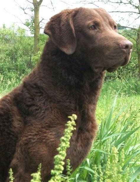 chesapeake puppies chesapeake bay retriever puppy pictures car interior design