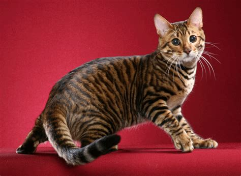 9 Exotic cat breeds every cat lover should know: Toyger