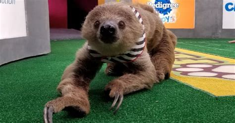 puppy bowl referee shirley the sloth referee of the puppy bowl won the bowl