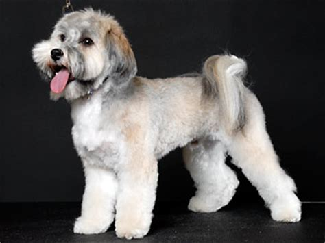 havanese grooming cuts pics for gt puppy cut havanese