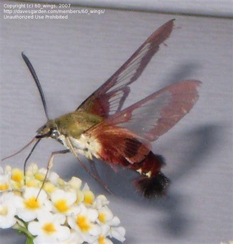 bug pictures hummingbird moth common clearwing hemaris