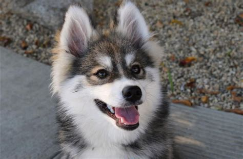 pomeranian husky mini mini pomeranian husky pictures are the shopping petcha