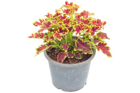 Flower And Pot How To Plant Coleus Flowers In Pots Grow Plants In Pots