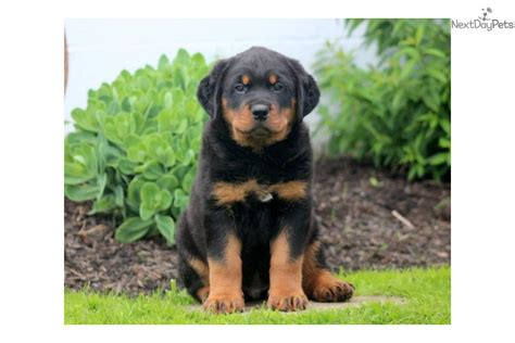 king rottweilers akc meet the breeds rottweiler breeds picture