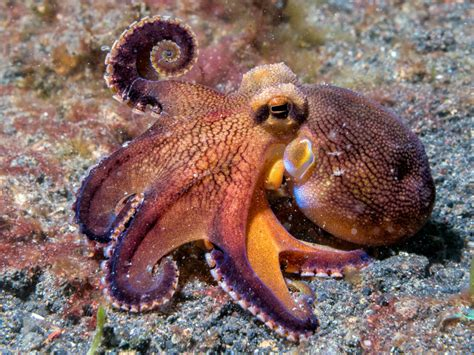 Why Pumpkins At Halloween - 6 reasons to love cephalopods britannica com