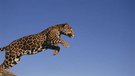 how fast can a run leopard running speed www pixshark images galleries with a bite