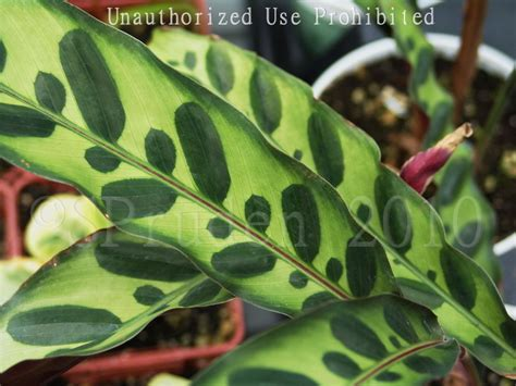 Calathea Lancifolia Insignis Rattlesnake Plant plantfiles pictures rattlesnake plant calathea insignis by gothqueen