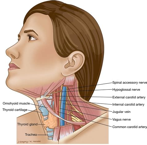 glands in the neck and throat diagram human neck anatomy glands