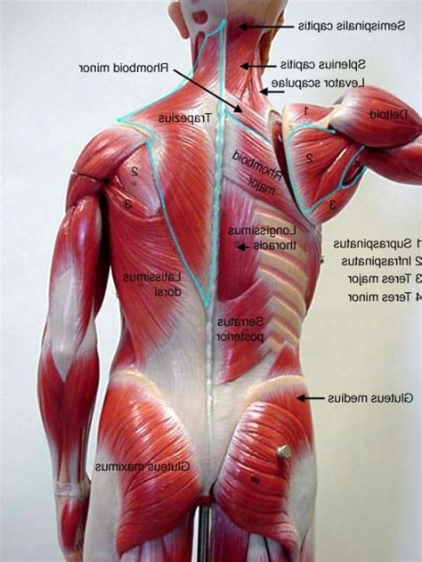 lowered muscle back muscle anatomy defenderauto info
