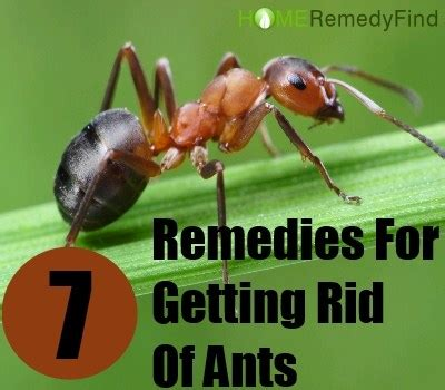 home remedy to get rid of ants 7 most safe home remedies for getting rid of ants diy