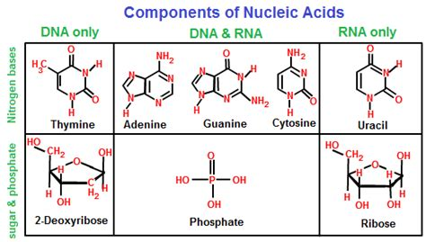 exle of nucleic acid deoxyribonucleic acid dna structure of dna chemistry