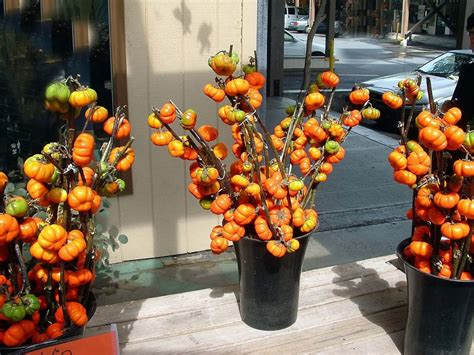 on a stick pumpkin tree pumpkin on a stick solanum integrifolium 20 seeds