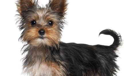 common illnesses in yorkies terrier disease predisposition pedigree health