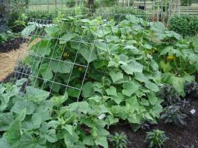 cucumbers on a trellis let cucumbers grow up bonnie plants
