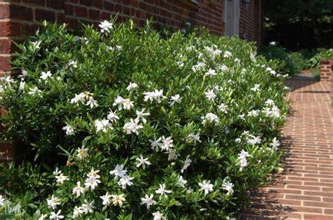 Gardenia Jasminoides Frostproof Proof 5x4 Cultivar Choices Gardenias
