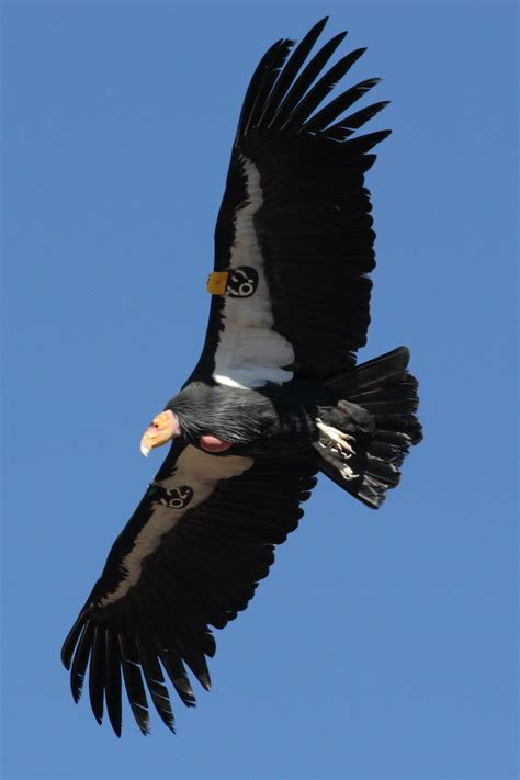birds of prey the california condor hubpages